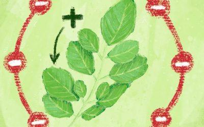Antioxidantes y Moringa